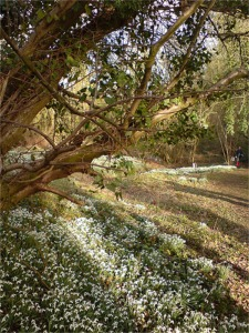 Woodland covered with snowdrops