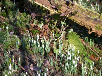 Snowdrops on the 1st of February 2010